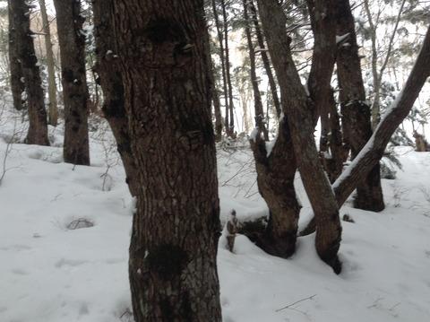 湯の丸山の林